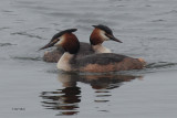 Great Crested Grebe, Hogganfield Loch, Glasgow