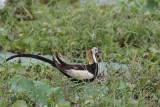 Pheasant-tailed Jacana, Tissamaharama, Sri Lanka