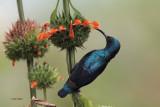 Purple Sunbird, Yala NP, Sri Lanka
