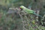 Rose-ringed Parakeet, Uda Walawe NP, Sri Lanka