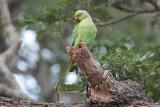 Rose-ringed Parakeet, Tissamaharama, Sri Lanka