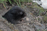 Water Vole, Glasgow