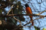 Scarlet Minivet, Kithulgala, Sri Lanka