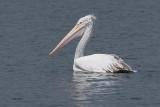 Spot-billed Pelican, Uda Walawe NP, Sri Lanka
