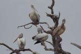 Spot-billed Pelican, Tissamaharama, Sri Lanka