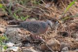Spotted Dove, Kithulgala, Sri Lanka