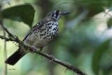 Spot-winged Thrush, Sinharaja NP, Sri Lanka