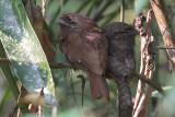 Sri Lanka Frogmouth, Sinharaja NP, Sri Lanka