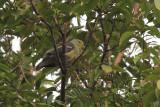 Sri Lanka Green Pigeon, Kithulgala, Sri Lanka