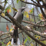 Sri Lanka Grey Hornbill, Sinharaja NP, Sri Lanka