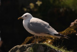 Common Gull, Inchcailloch-Loch Lomond, Clyde
