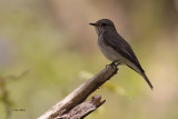 Spotted Flycatcher, Inchcailloch-Loch Lomond, Clyde