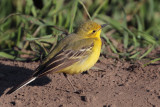 Yellow Wagtail, Fife