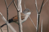 Common Whitethroat, Fife Ness