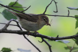 Willow Warbler, Ross Wood-Loch Lomond, Clyde
