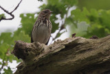 Tree Pipit, Ross Wood-Loch Lomond, Clyde