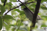 Blackcap, Ross Wood-Loch Lomond, Clyde