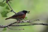 Redstart (male), Ross Wood-Loch Lomond, Clyde