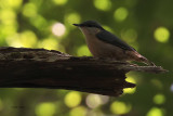 Nuthatch, Inchcailloch-Loch Lomond, Clyde