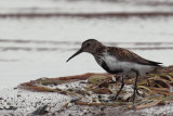 Dunlin, Ring Point-RSPB Loch Lomond, Clyde