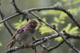 Tree Pipit (juvenile), Auchingyle Wood-Loch Lomond, Clyde
