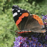 Red Admiral, Brookhouse, S Yorks