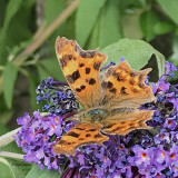 Comma, Brookhouse, S Yorks