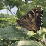 Speckled Wood, Brookhouse, S Yorks