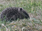 Hedgehog, Brookhouse, S Yorks