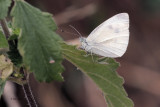 Small White, Brookhouse, South Yorkshire