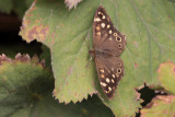 Speckled Wood, Brookhouse, South Yorkshire