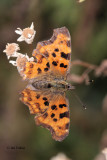 Comma, Brookhouse, South Yorkshire