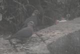 Sri Lanka Wood Pigeon, Horton Plains NP, Sri Lanka