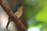 Tickell's Blue Flycatcher, Kithulgala, Sri Lanka