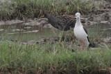 Watercock, Bundala NP, Sri Lanka