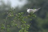 Whiskered Tern, Uda Walawe NP, Sri Lanka