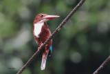White-breasted Kingfisher, Kithulgala, Sri Lanka