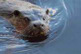 Otter, Endrick Water-RSPB Loch Lomond, Clyde