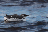 Guillemot, Ring Point-RSPB Loch Lomond, Clyde