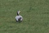 Bar-headed Goose, Fleck-Mainland, Shetland