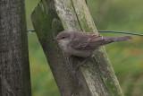 Barred Warbler, Norwick-Unst, Shetland