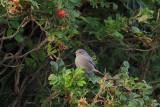 Black Redstart, Norwick-Unst, Shetland