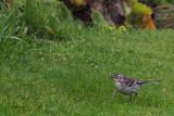 Citrine Wagtail, Gardie House-Bressay, Shetland