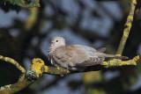 Collared Dove, Hoswick-Mainland, Shetland