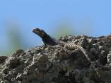 Lizard sp, Kaunos