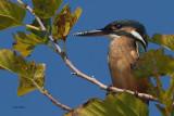Kingfisher, Koycegiz