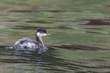 Black-necked Grebe, Lake Koycegiz