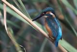 Kingfisher, Dalyan