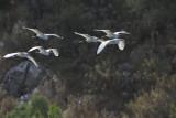 Little Egret, Dalyan
