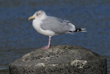 Herring Gull, Leebotten-Mainland, Shetland